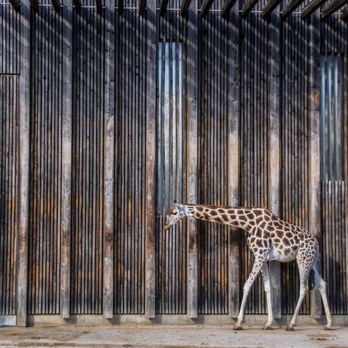 Giraffe walking by wall