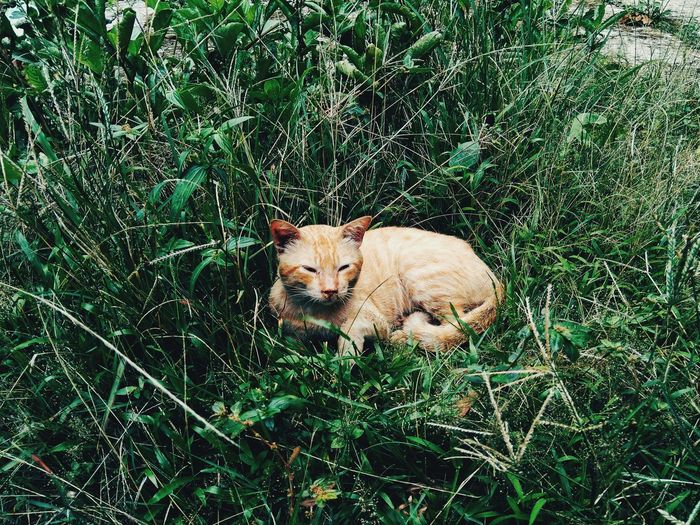 My Ginger Cat EyeEmNewHere Eyeemindonesia Ginger Cat Pets Feline Domestic Cat Relaxation High Angle View Portrait Grass Green Color Cat Family Ginger Cat Cat Carnivora Stray Animal Whisker Big Cat Tabby Sleepy