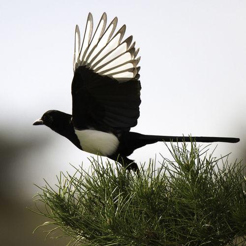 Beauty In Nature Bird Bird Photography Birds European Birds Magpie Pica Pica Western Palearctic Wildlife & Nature Wildlife Photography Wildlife Photos