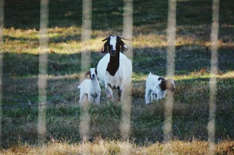 Nature Animal Themes Grass Field Outdoors No People Animals In The Wild Beauty In Nature Day Mammal Livestock Goat Goat And Babies Fence Line Popular Beauty In Nature Pattern Doe And Kids