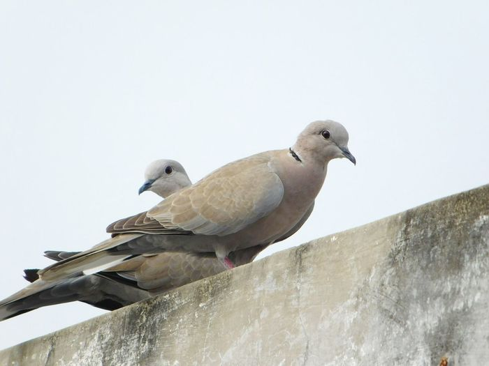 EyeEm Selects Bird Animal Wildlife Winter Animals In The Wild Animal Mourning Dove Outdoors No People Cold Temperature Nature Day Perching Sky Close-up Bird Of Prey Ahmedabad AhmedabadDairies Ahmedabad River Front Ahmedabad India India Indian Culture  India_clicks Indian Indian Style