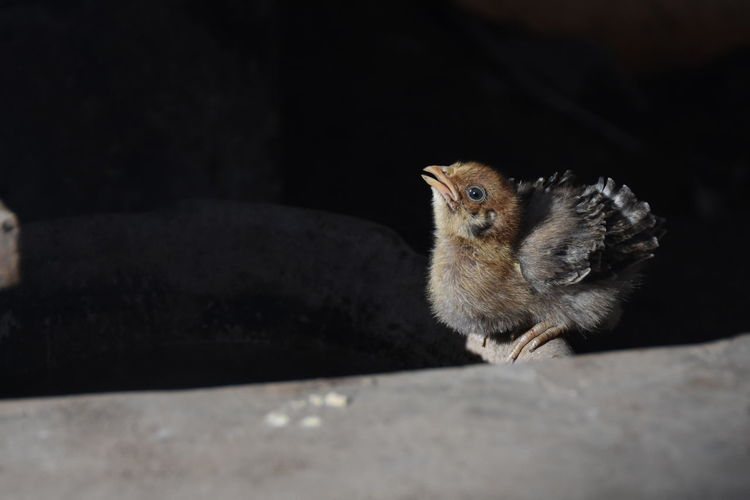 High Angle View Of Baby Chicken On Stone