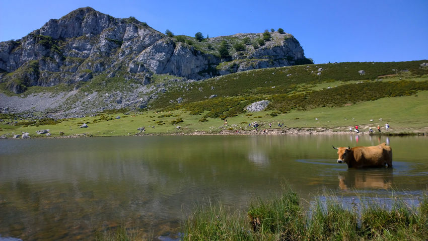 View of a cow at Lake Ercina in Lakes of Covadonga, Asturias - Spain Animal Asturias Covadonga Cow Cows Ercina Lago Ercina Lagos De Covadonga Lake Lakes  Landscape Mammal Mountain Natural Nature Pasture Peak Picos De Europa Picturesque Reflection Rural Scenics SPAIN Travel Destinations Water