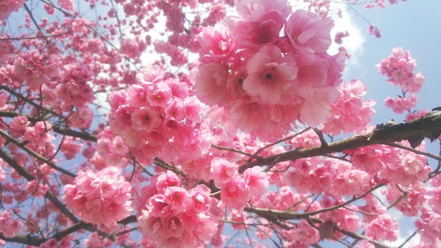 Pink Color Flower Nature Growth No People Low Angle View Outdoors Day Beauty In Nature Freshness Tree Fragility Close-up Flower Head