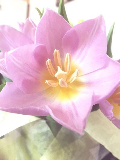 Pastel Power Tulips🌷 Tulip Pastel Colours Powder Pink Pale Pink EyeEm Flower Motus Natura Nature