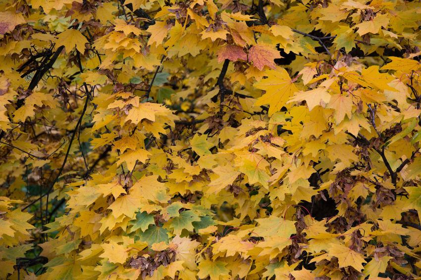 Autumn Autumn Autumn Colors Backgrounds Beauty In Nature Change Close-up Czech Republic Day Fragility Full Frame Grebovka Havlickovy Sady Horizontal Leaf Nature No People Outdoors Park Prague Yellow