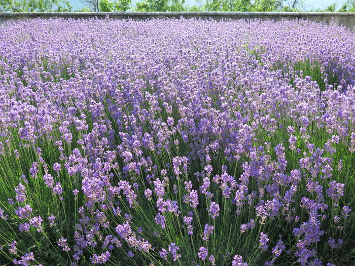 Beauty In Nature Day Field Flower Landscape Lavender Lavender Colored Nature No People Outdoors Plant Purple Scenics Scented