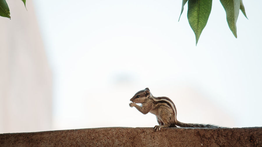 Animal Animal Themes One Animal Mammal Vertebrate Animal Wildlife Focus On Foreground No People Animals In The Wild Day Rodent Nature Plant Part Leaf Sitting Outdoors Selective Focus Wall - Building Feature Copy Space Wall Squirrel