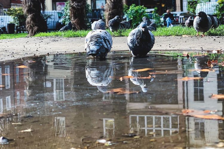 Pigeons Water Reflection Architecture Art And Craft Representation Bird Animal Themes Outdoors Group Of Animals Puddle No People Nature Animal