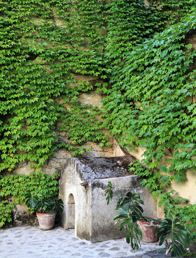 Ivies growing on wall