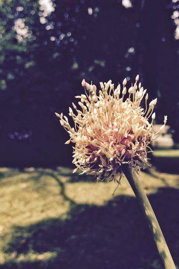 Garlic Garlicfans Garlic! Garden Gardening Flowers,Plants & Garden Gardens Garden Photography In My Garden My Garden