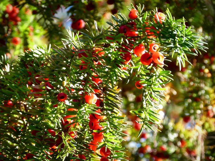 Yew Berries Yew Tree