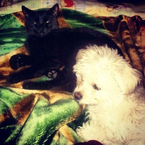 I walked in my room and found my babies cuddling. Cat Inez Dog Symphony Cuddling MyBabies LoveThem