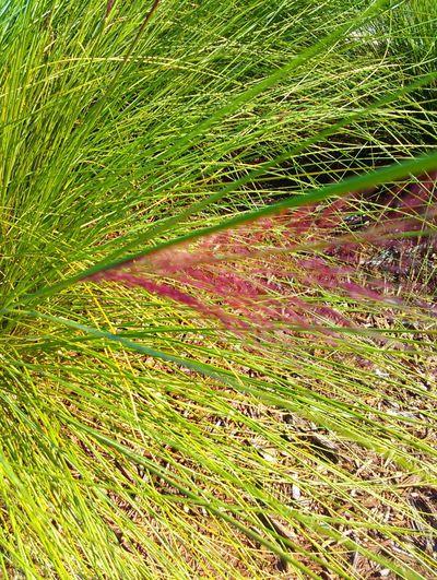 Grass GrassPorn Grasses Pink Grass  Purple Grass Beautiful Grasses