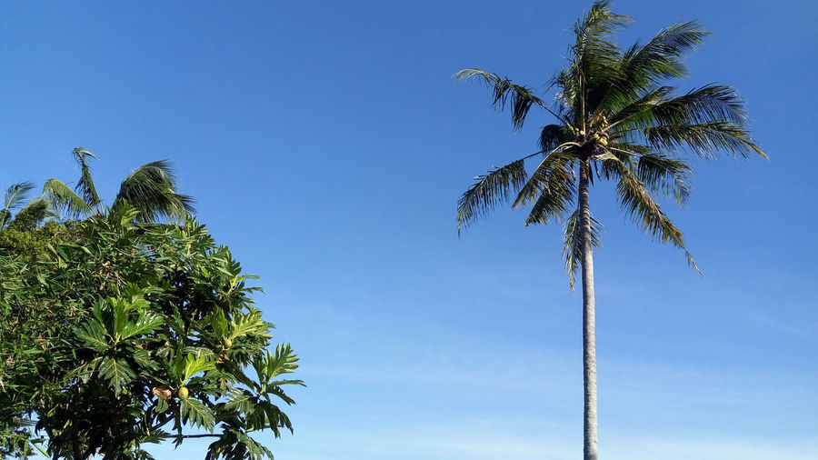 coconut and breadfruit trees Palm Tree Tropical Climate Sky Tree Plant Growth Coconut Palm Tree Low Angle View Nature Blue Beauty In Nature Day Tropical Tree Green Color Trunk Tree Trunk Leaf Tall - High Tranquility No People Outdoors Palm Leaf