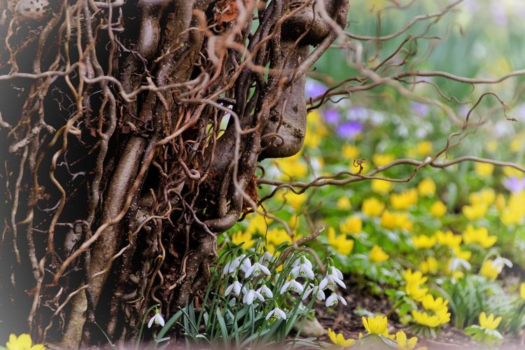 Growth Nature Tree Close-up Focus On Foreground No People Outdoors Day Branch Beauty In Nature Snowdrops Flowers Spring Face In Nature Face In Wood Mother Nature Who Can See It?  Who can see the face? 🗿😊 Lost In The Landscape