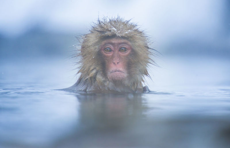 Snow monkey in a hot spring, Nagano, Japan. Animal Themes Animals In The Wild Cold Temperature Day Hot Spring Japanese Macaque Looking At Camera Mammal Monkey Nature No People One Animal Outdoors Portrait Selective Focus Water Winter