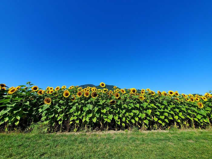 Scenic view of flowering plants on field against clear blue sky