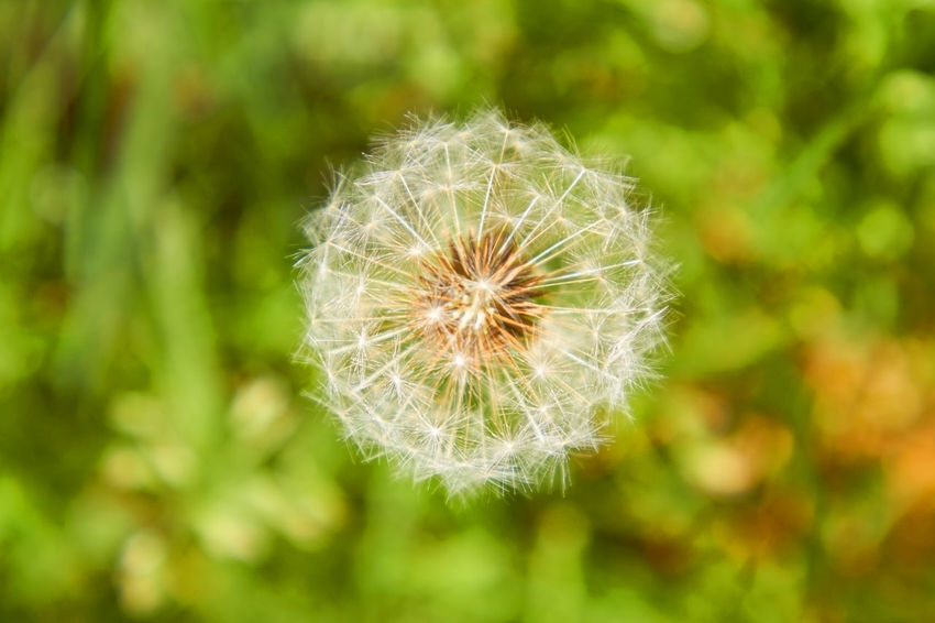 dandelion Dandelion Seed Beauty In Nature Close-up Dandelion Dandelion Seed Day Flower Flower Head Flowering Plant Focus On Foreground Fragility Freshness Green Color Growth Inflorescence Nature No People Outdoors Plant Softness Springtime Vulnerability  White Color