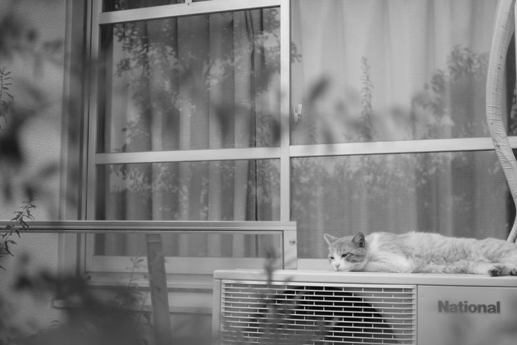 Black And White Feline Domestic Cat Window
