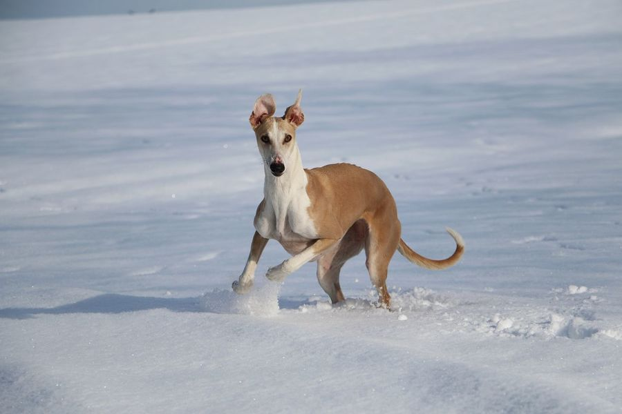 brown galgo is running in the snow EyeEm Pets Galgo Galgo Español. Spanish Action Active Animal Themes Cold Temperature Day Dog Domestic Animals Funny Pics Galgoespañol Greyhound Mammal Nature One Animal Outdoors Pets Sighthound Snow Sport Weather Windhund Winter