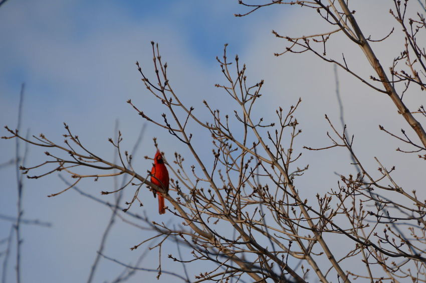 Cardinal Red Bird Animal Themes Animal Wildlife Animals In The Wild Bare Tree Beauty In Nature Bird Branch Day Nature No People One Animal Outdoors Perching Red Sky Tree Ontario Canada