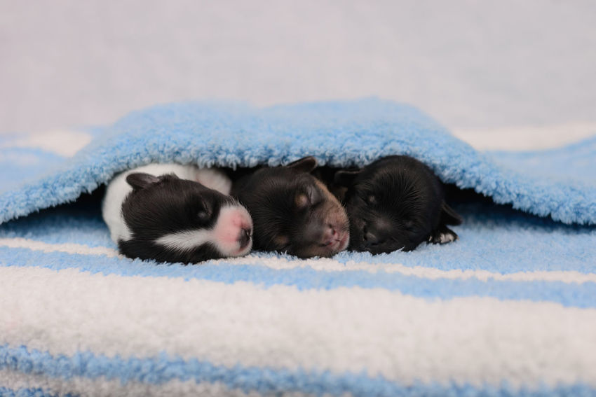 Border collie puppies Bow Dogs Love Animal Animals Black Blackandwhite Canine Cute Dog Domestic Domestic Animals Indoor Luna Mammal Newborn No People Pets Pixel Puppies Puppy Studio Shot Sweets Whiskey White Background