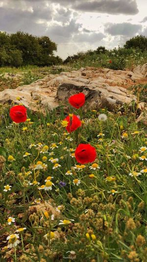 Plant Flower Flowering Plant Growth Poppy Beauty In Nature Red