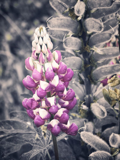 Beauty of lupines Nuances of purple and a graceful appearance makes those plants to a real eye catcher Lupinus Lupinus Polyphyllus Lupin Lupine Plant Closeup Macro Purple Violet Fresh Flower Nature Floral Spring Bloom Beauty Beautiful Blossom Romance Summer Natural Valentine Love Garden Flora Background Day Gift Design Concept Holiday Birthday Romantic Style Wedding Purity Vegetation Flowering Plant Beauty In Nature Fragility Vulnerability  Growth Freshness Close-up Petal No People Focus On Foreground Inflorescence Sunlight Outdoors Flower Head Botany Lilac