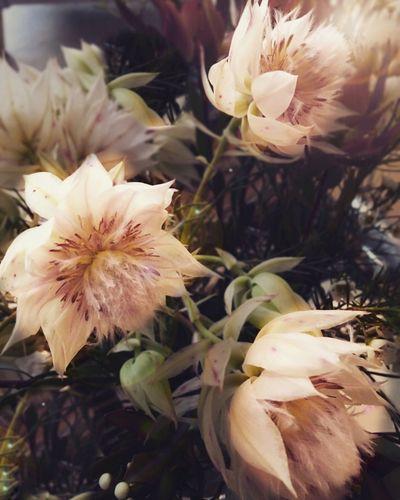 The Week On EyeEm Fynbos Flower Fragility Nature Flower Head Beauty In Nature Petal Plant Close-up Springtime Blushing Bride Hermanus South Africa