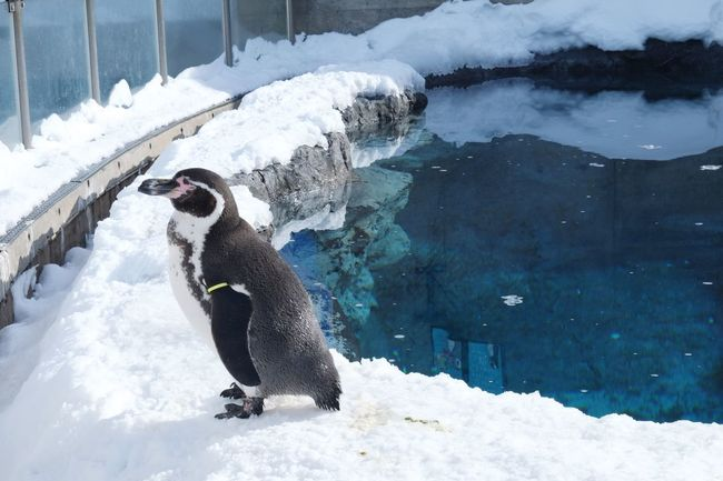 Penquin Animal Asahikawa Zoo Snow Ice Life Cage Water Reflects Winter Season  Cold