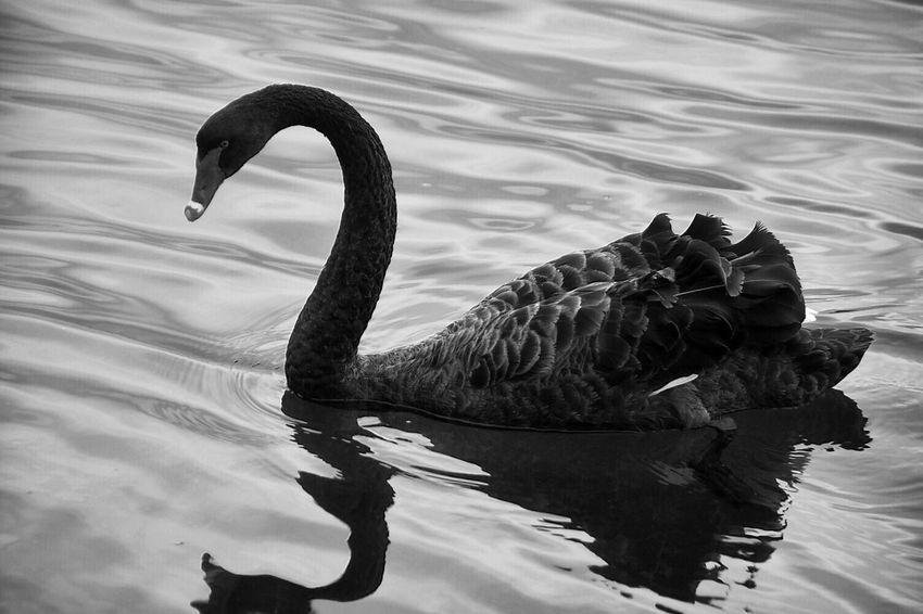 Australia Animal Themes Animals In The Wild One Animal Swan Black Swans Perth Blackandwhite Swan River Bird