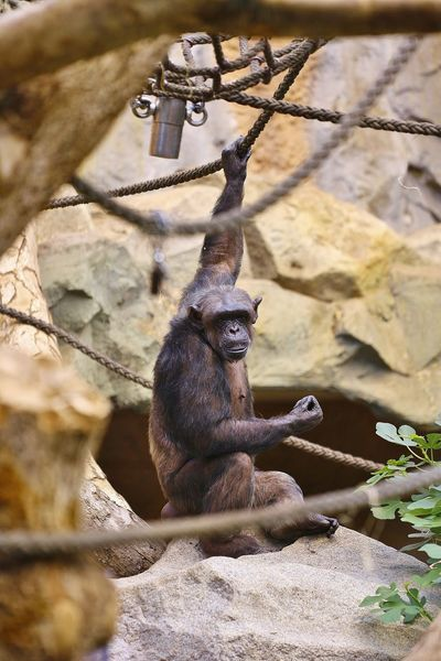 Animal Themes Animal Wildlife Animals In The Wild Ape Close-up Day Full Length Mammal Monkey Nature No People One Animal Outdoors Primate