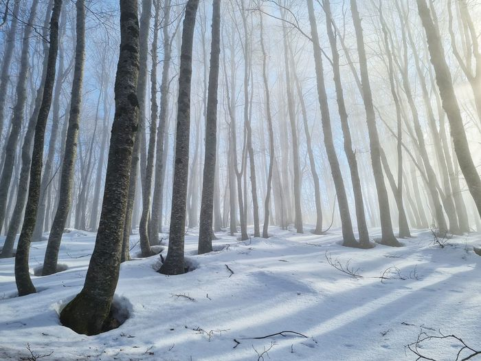 Sunlight and fog among the trunks of a snowy forest