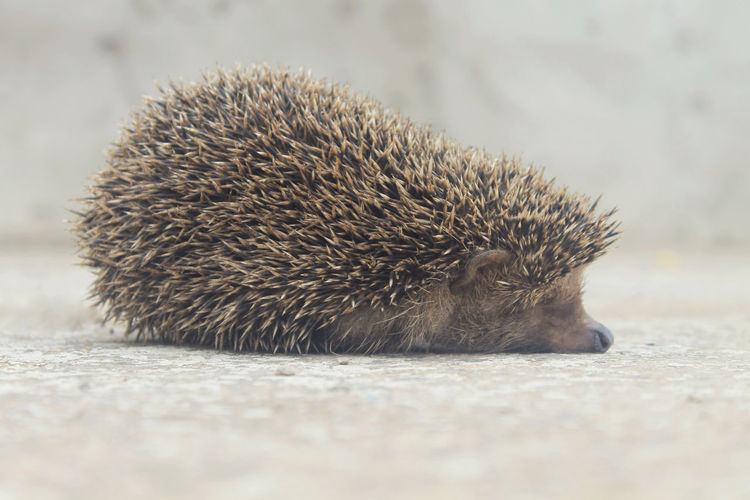 Close-Up Of Hedgehog Relaxing On Footpath