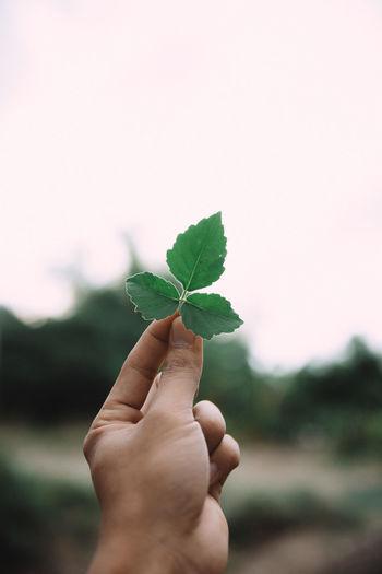 Mint Leaf -