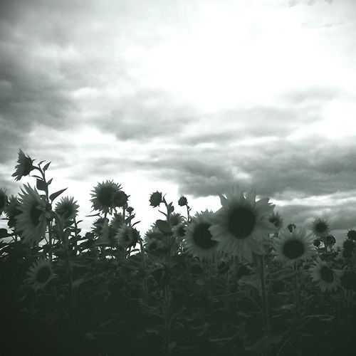 Sunfliwers Monochrome Wind Black&white