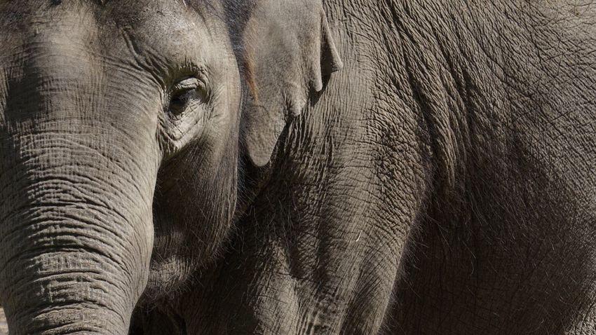 Elephant African Elephant Nature Mammal No People Animal Themes Safari Animals Tusk Close-up Day