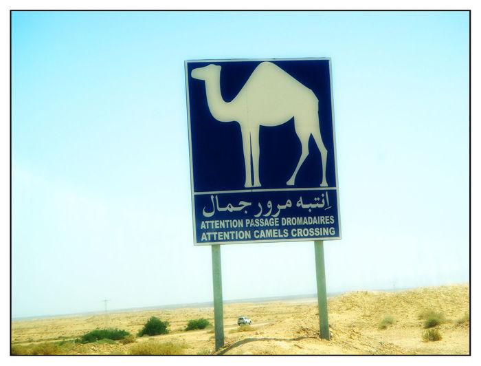 Desert Signal Desierto Señalización Camel Camellia Flower Señal Señal Camello