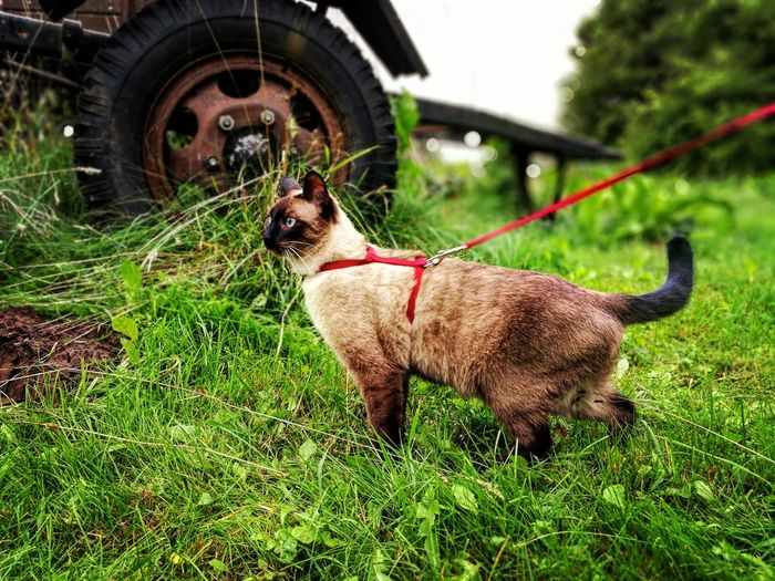 Catwalk Siamese at nature . Pets Grass One Animal No People Day Animal Themes Outdoors Siamese Siamese Cats Siamese Traktor Tyre Wheel Latvia Outdoors