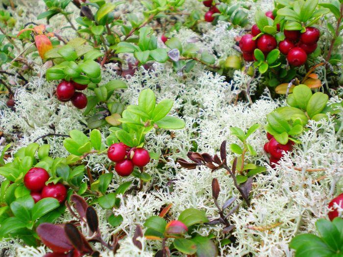 Lingonberries Østerdalen Norway Red Berries Moss Tyttebær Mosè Røde Bær