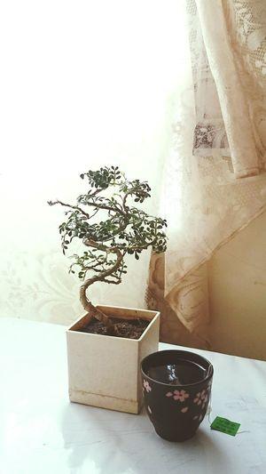 Liquid Lunch Green Tea Foodphotography Bonsai Bonsai Tree Curtains Soft 1 Showcase: February At Home Check This Out The Week Of Eyeem At Tea Time Xperiaz2