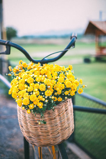 Yellow flowers in a wooden basket on a bicycle. Architecture Background Barrier Basket Beauty In Nature Bicycle Boundary Close-up Container Day Fence Flower Flower Head Flowering Plant Focus On Foreground Fragility Freshness Growth Nature No People Outdoors Plant Vulnerability  Yellow