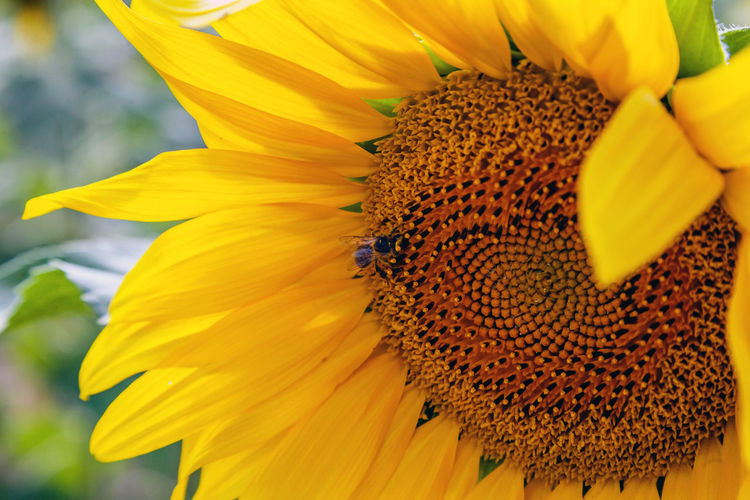 Flowering Plant Flower Petal Fragility Vulnerability  Flower Head Yellow Freshness Inflorescence Beauty In Nature Plant Growth Pollen Close-up Insect Animals In The Wild Animal Themes One Animal No People Sunflower Pollination