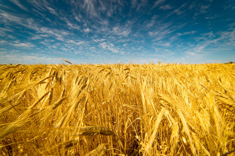 Scenic view of wheat growing on field against sky