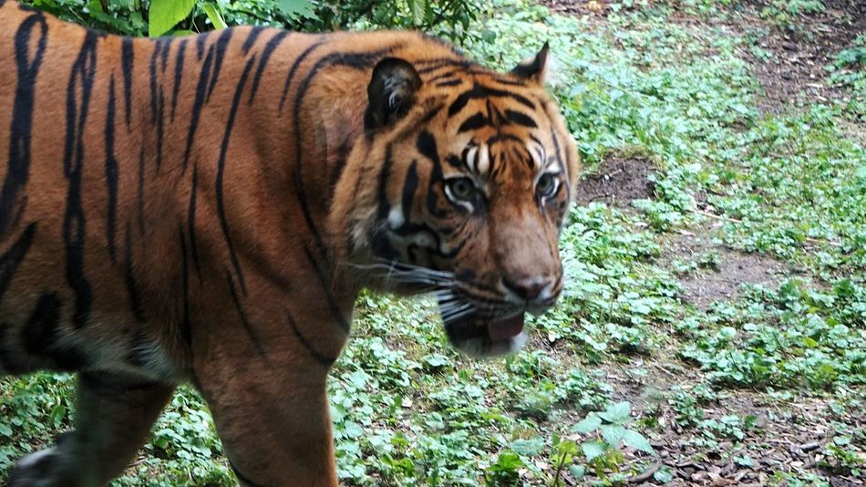 unruhiger Kerl 🙄Tiger Eyes  Tiger Animal Wildlife Animals In The Wild Animal Themes Outdoors Mammal Day Nature Looking At Camera Portrait Feline Animal Markings Safari Animals No People Close-up Zoo Frankfurt Domestic Animals Animal Body Part Taking Pictures Focus On Foreground