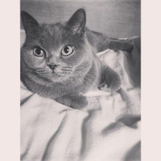 Pusia Thecat Britishcat Good_night petinstacat