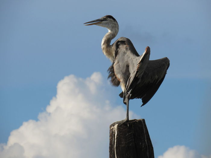 Posing Blue Heron Animals In The Wild Bird Cloud Cloud - Sky Day Feathers Low Angle View One Animal Outdoors Perching Sky Stretching Wings Wildlife Zoology