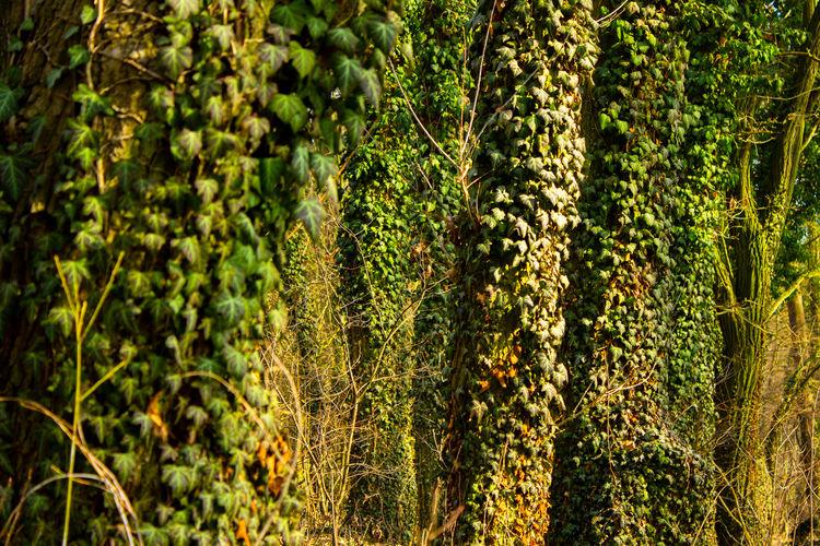 ivy jungle