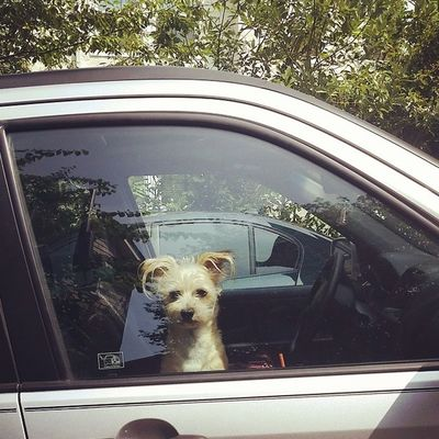 Cutest. Stanleymuffins Turtledog Itischicken Lovemydog mydogiscute dogsofinstagram chihuahuamix bichonmix chichon frenchmexican carride travelingpuppy